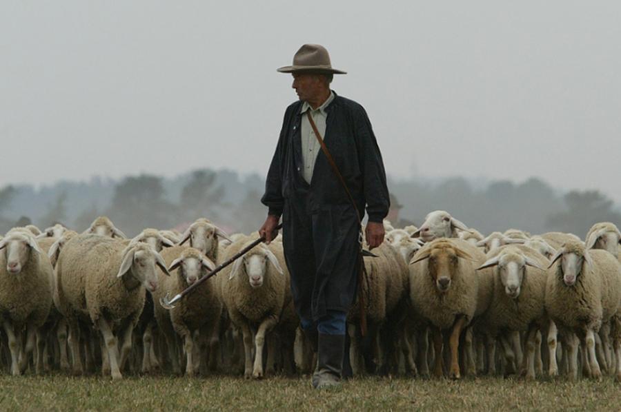 pastor cuidando de ovelhas